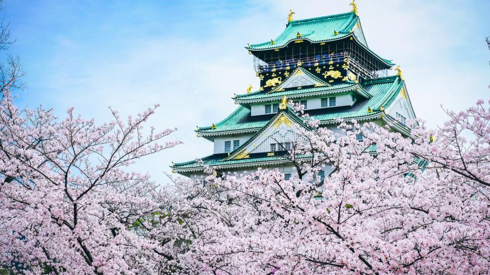 Osaka Castle at sakura blossom wallpaper