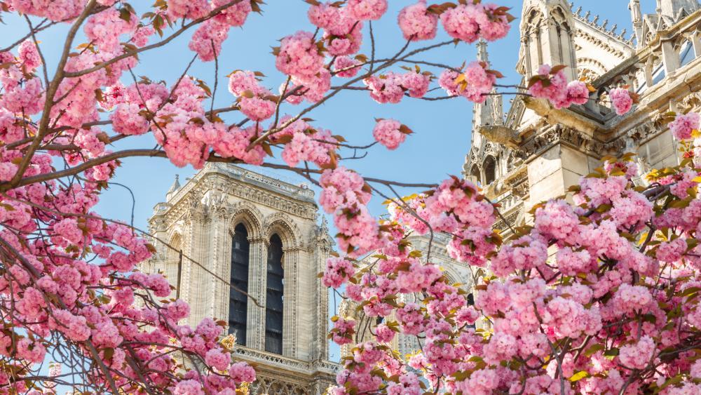 Cherry Blossom in Paris wallpaper
