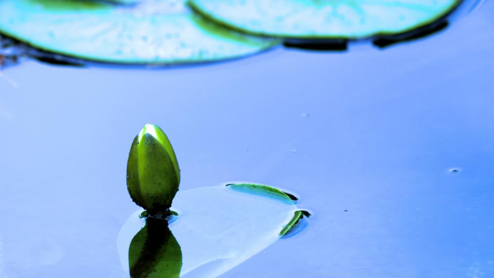 Water lily bud wallpaper