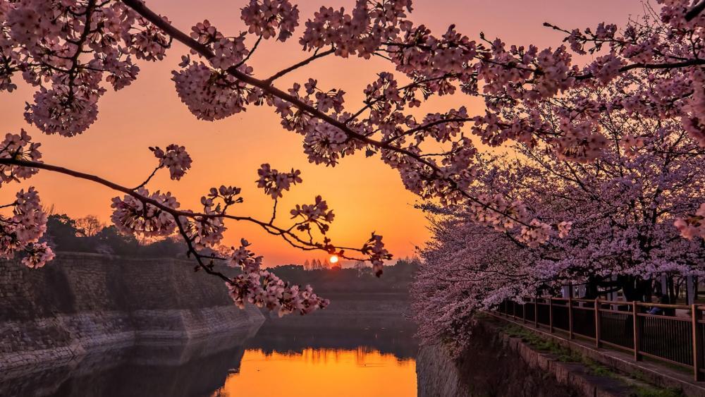 Osaka Castle Park sakura blossom at sunset wallpaper