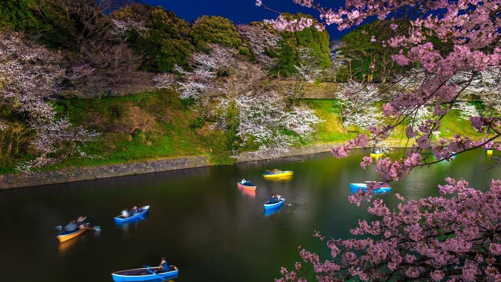 Chidorigafuchi Green Way at cherry blossom wallpaper