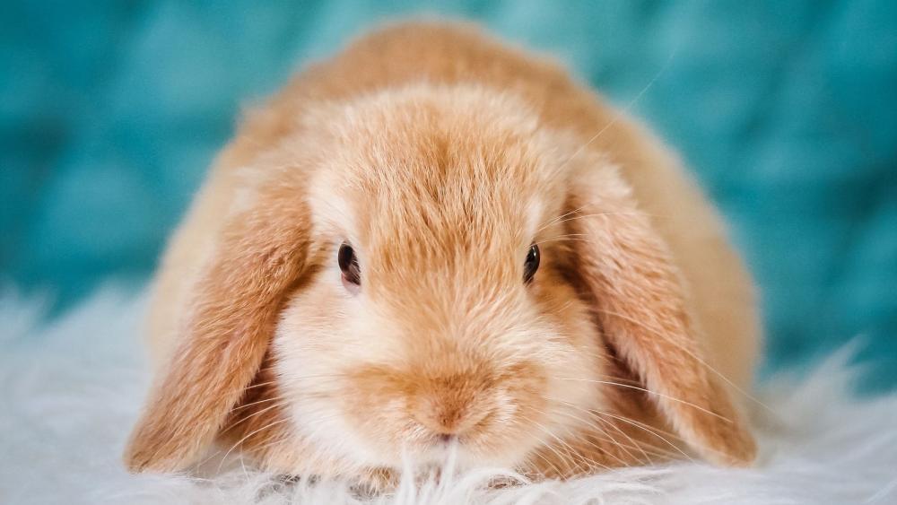 Lop-eared rabbit wallpaper