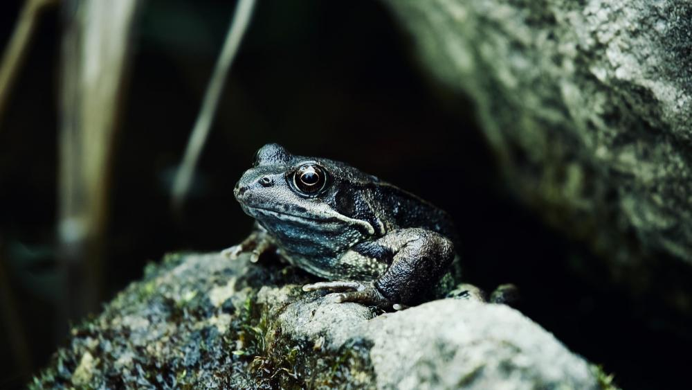Frog on a rock wallpaper