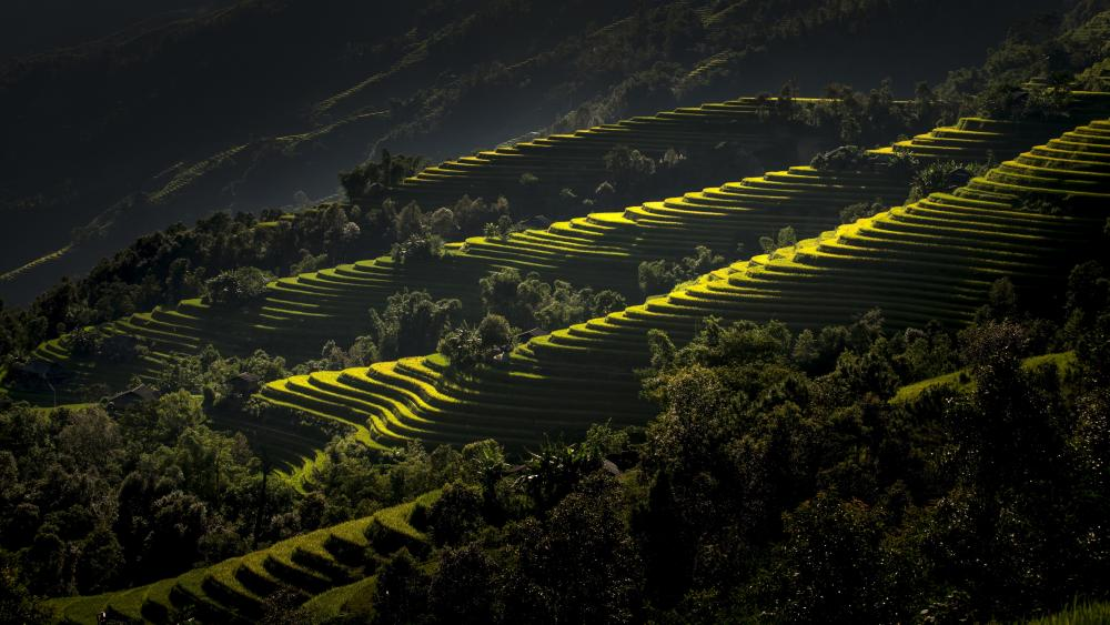 Rice terraces, Vietnam wallpaper