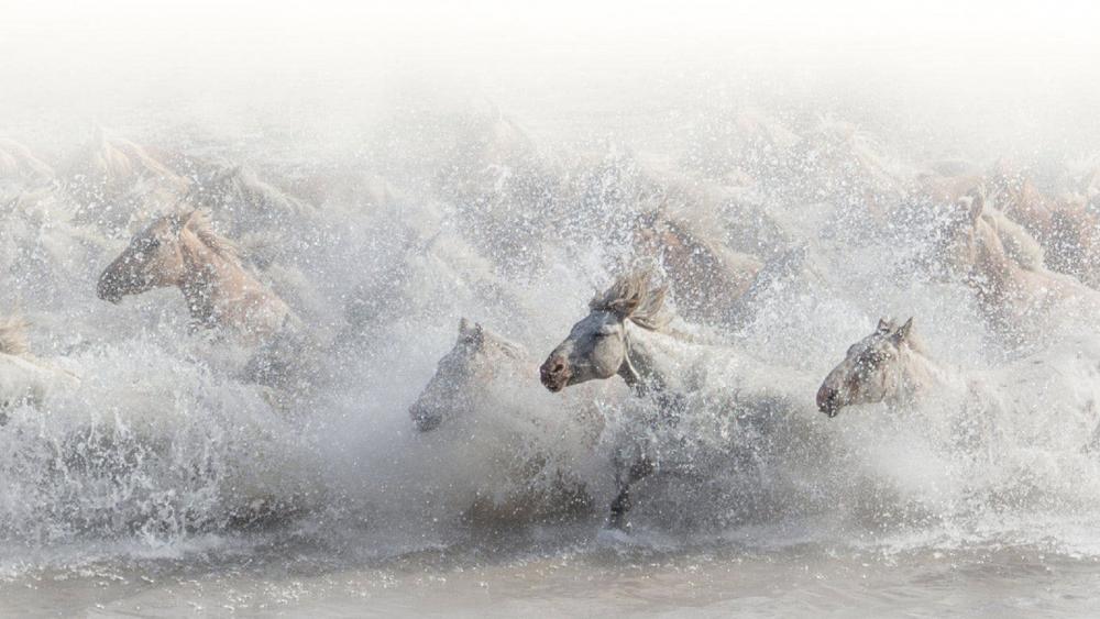 Running horse herd in the water wallpaper