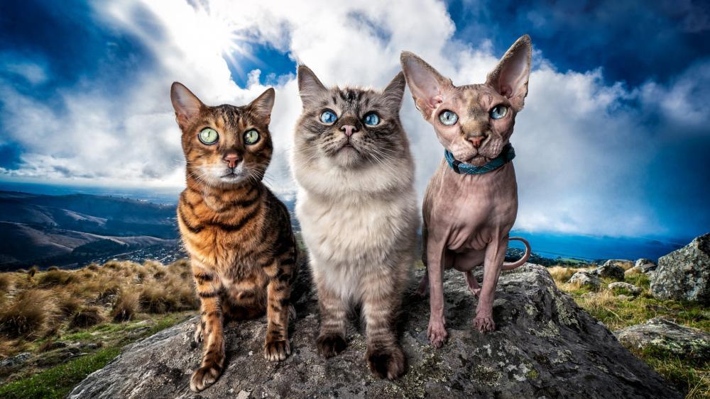 Bengal cat, Sphynx cat, Burmese cat wallpaper