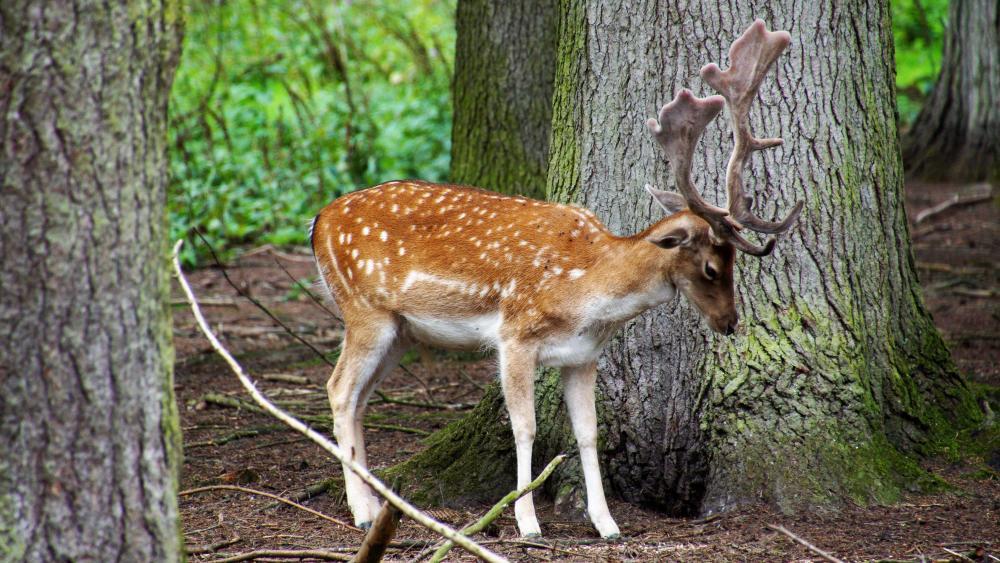 Deer foraging wallpaper