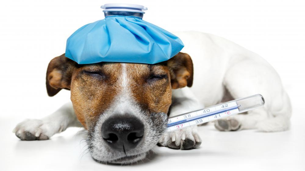 Sick Jack Russell terrier dog wallpaper