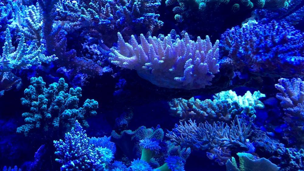 Blue corals wallpaper