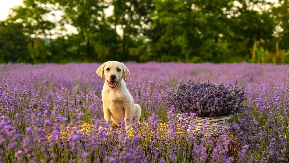 Labrador retriever puppy wallpaper