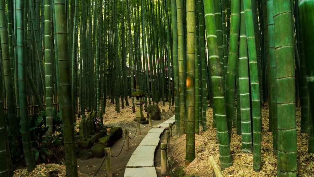 Boardwalk in Bamboo Forest wallpaper