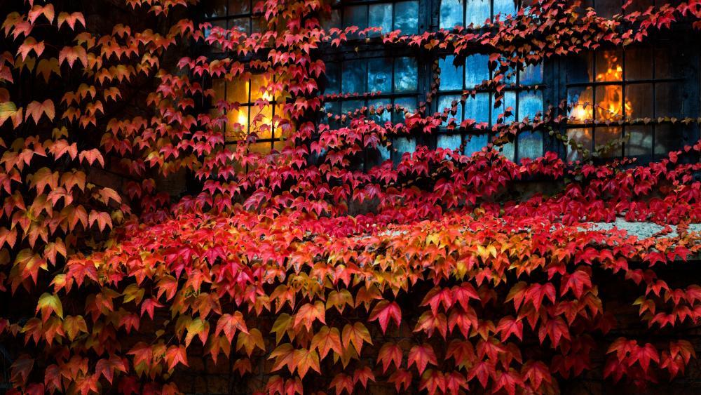 Red Virginia creeper leaves wallpaper