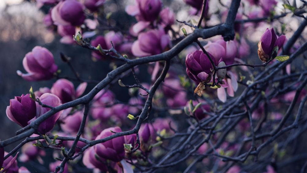 Purple magnolia tree wallpaper