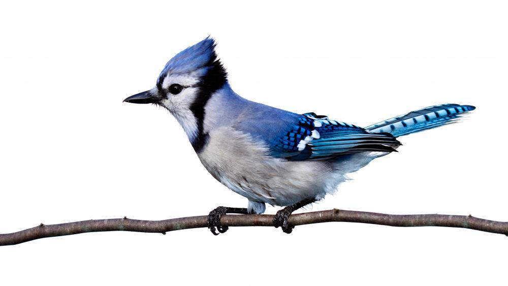 Blue Jay Bird on a twig wallpaper
