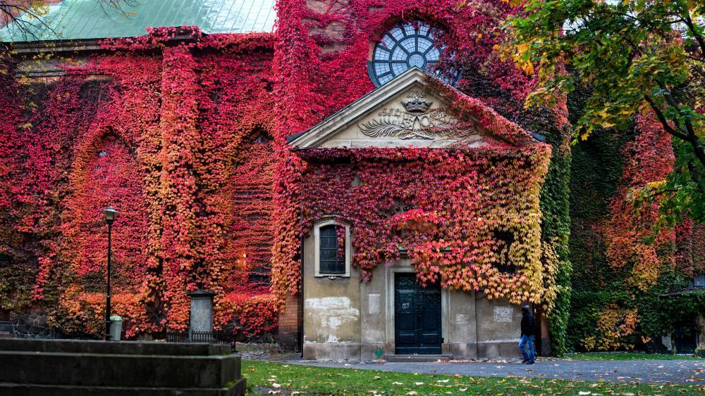 Red Virginia creeper on the Klara Church, Stockholm wallpaper