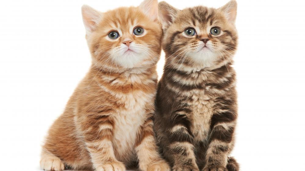 Cute kittens on white background wallpaper