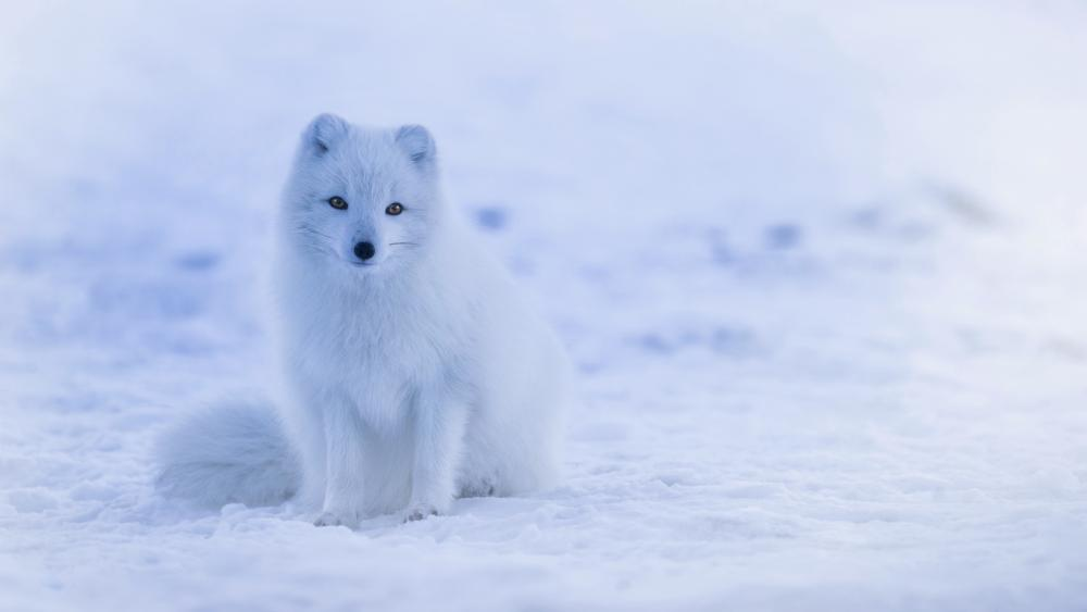 Arctic fox in the snow wallpaper
