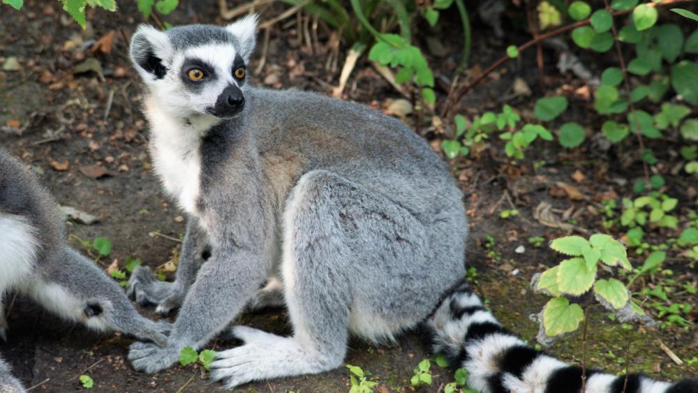 Lemur by the wayside wallpaper