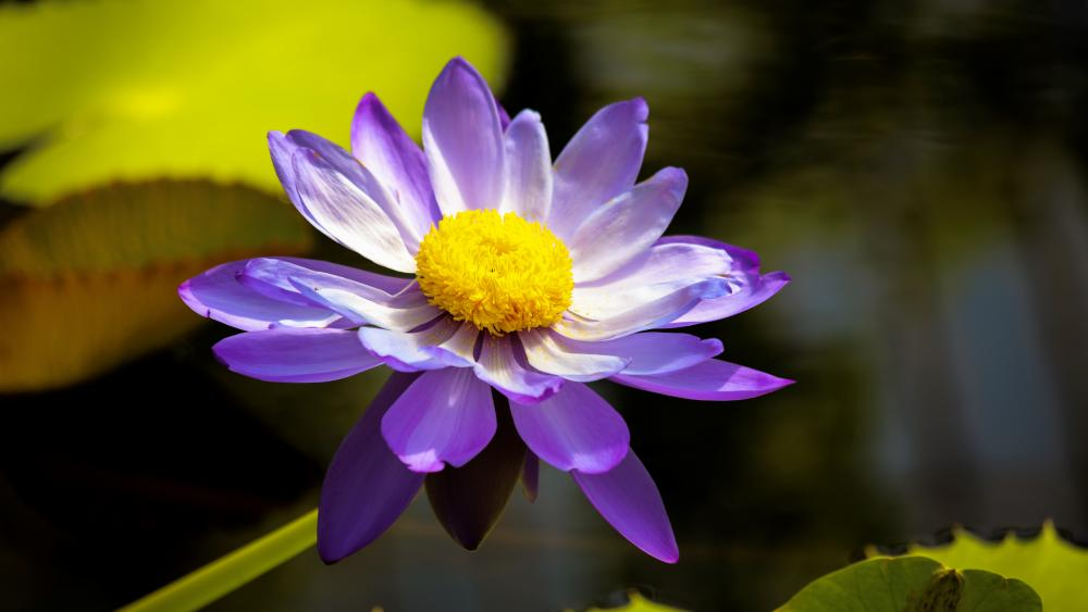 Water Lily (nymphaea) wallpaper