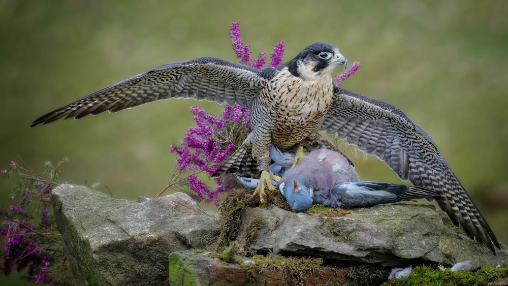 Peregrine falcon wallpaper