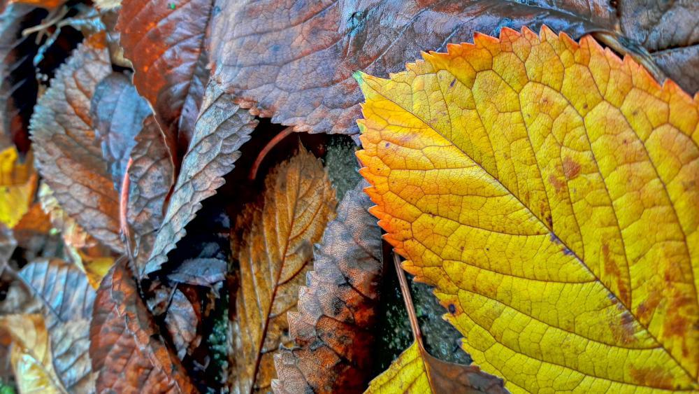 Autumn leaves wallpaper