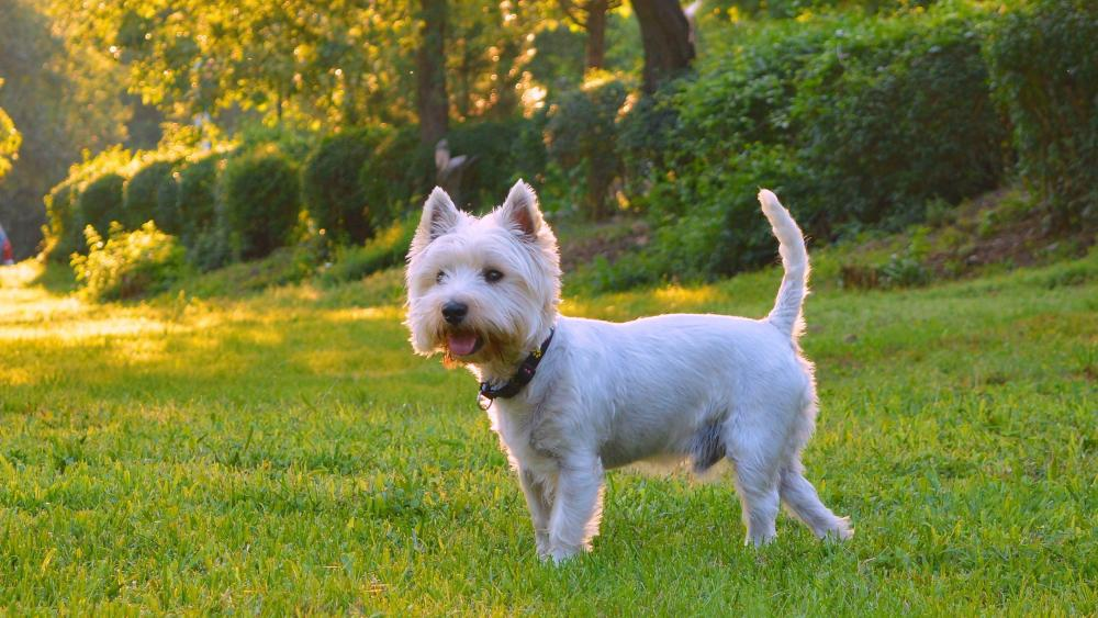West highland white terrier wallpaper