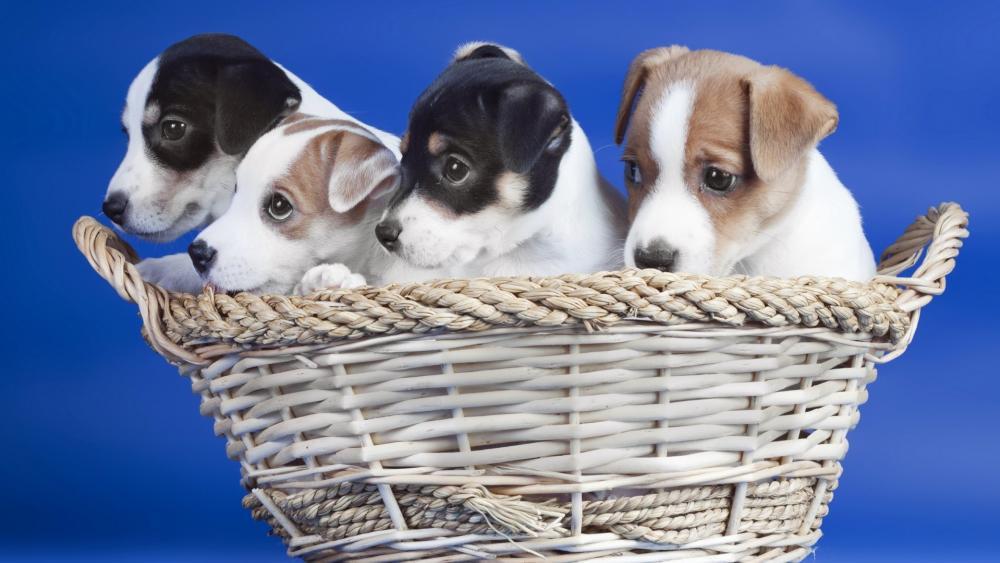 Jack Russell Terrier puppies wallpaper