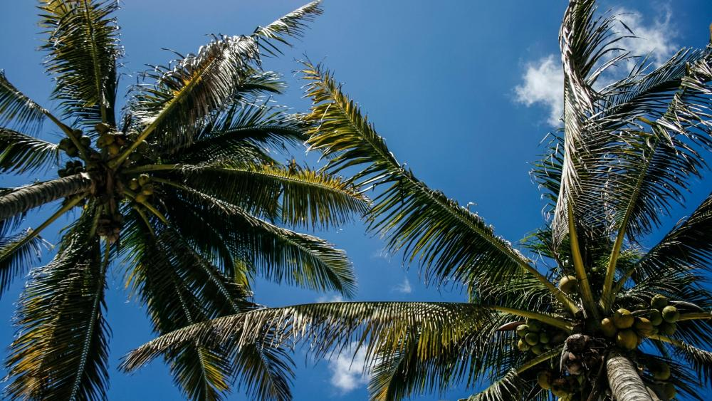 Palm trees low-angle view wallpaper
