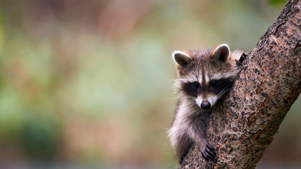 Raccoon cub wallpaper