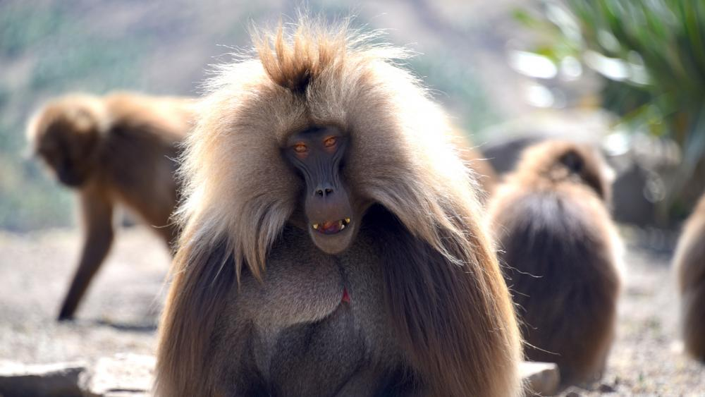 Gelada Monkey wallpaper