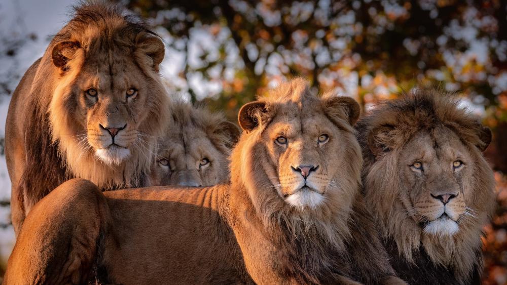 Lion herd wallpaper