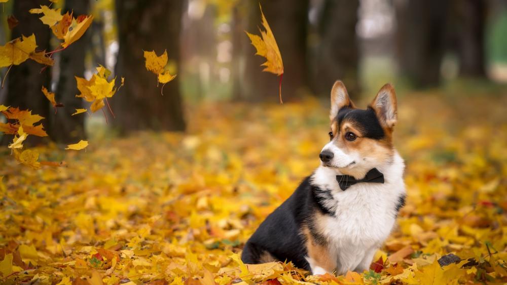 Corgi in fall leaves wallpaper