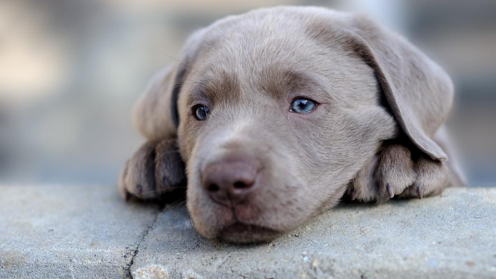 Weimaraner puppy wallpaper