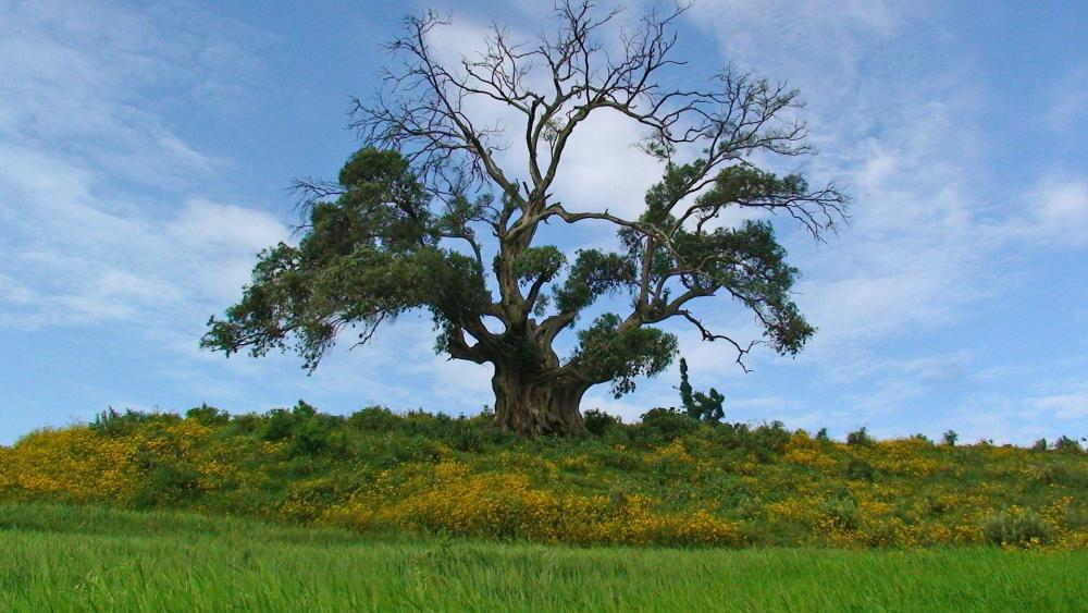 Solitary tree in Ethiopia wallpaper