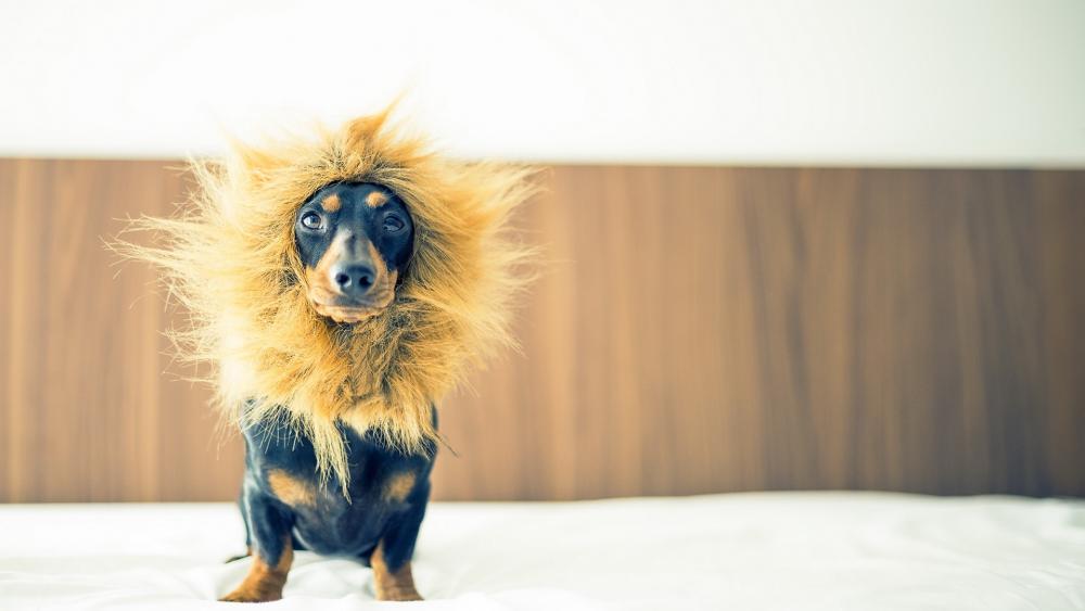 Lion Dachshund wallpaper