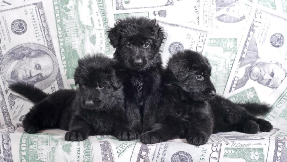 Black puppies wallpaper