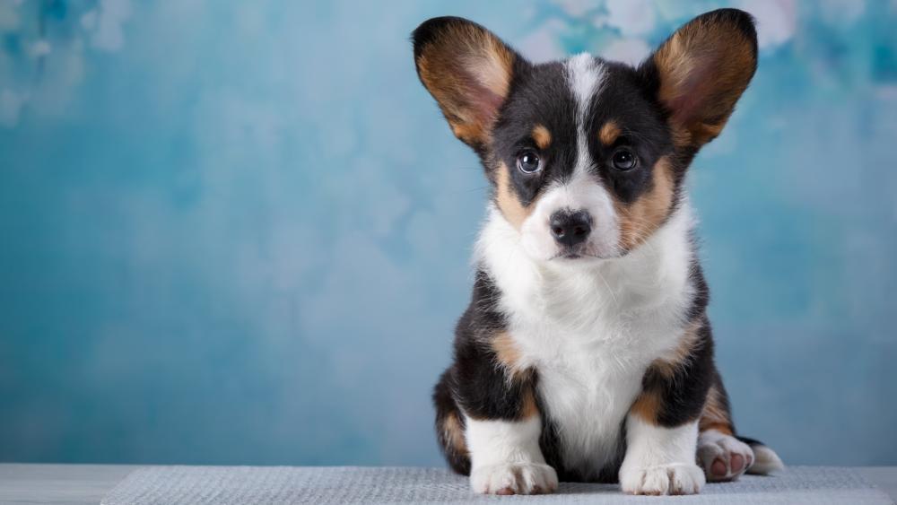 Cardigan Welsh Corgi puppy wallpaper