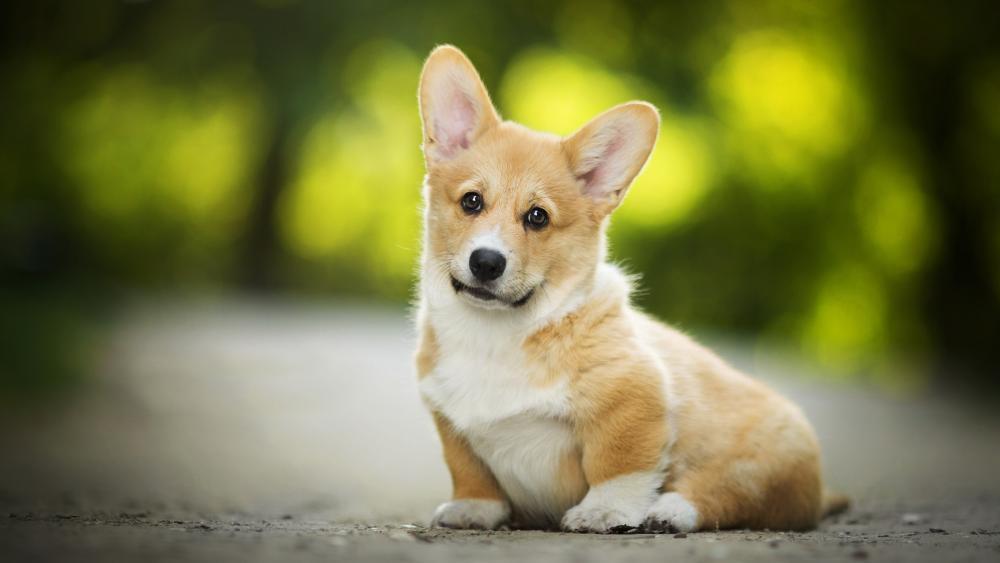 Corgi puppy wallpaper