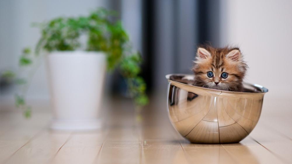 A kitten in a bowl... wallpaper