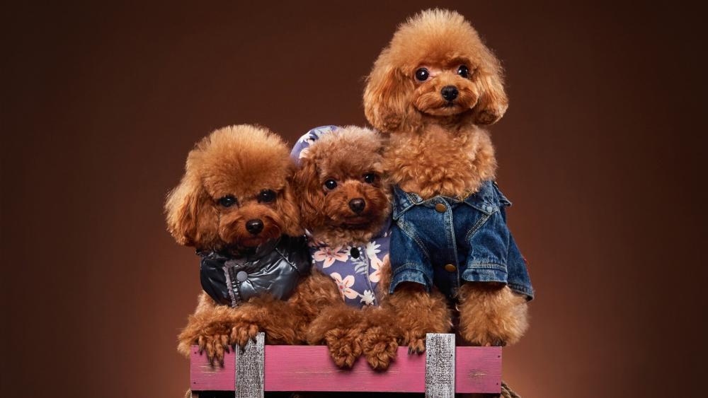 Miniature Poodles wallpaper
