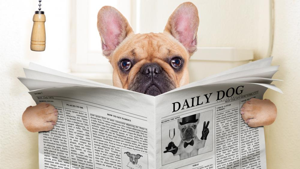 French Bulldog reads in toilet wallpaper