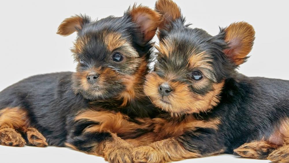 Yorkshire Terrier puppies wallpaper