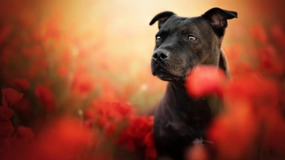 Staffordshire Bull Terrier wallpaper