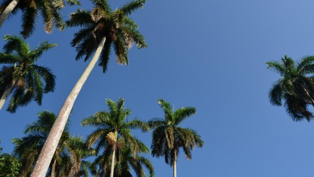 Palms with blue sky low angle shot wallpaper