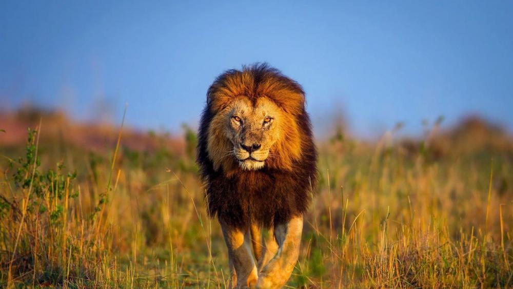 lion ultra wallpaper wallpaper