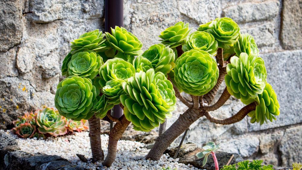 Succulent plant wallpaper