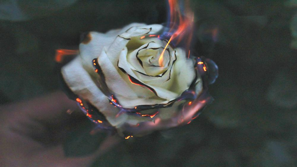 Burning white rose wallpaper