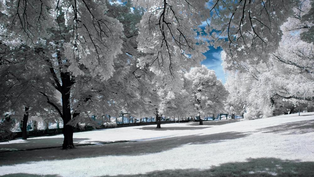 White trees wallpaper