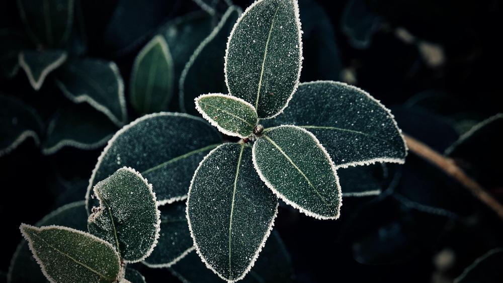 Frost Leaves wallpaper