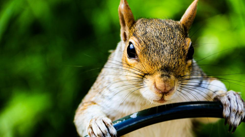 A squirrel on the wheel wallpaper